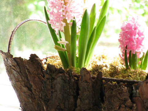 hyacinth in bark vessel